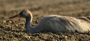 На Херсонщині виявили на полях мертвих журавлів