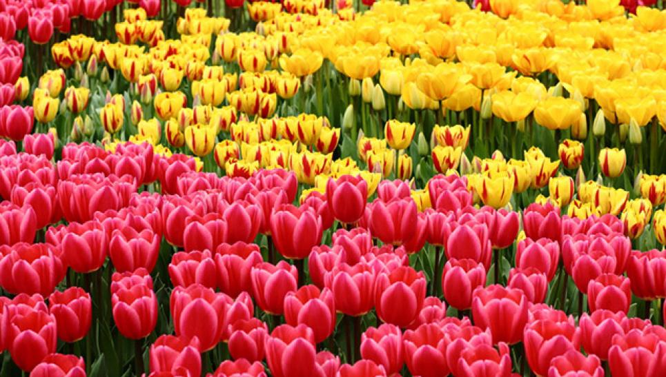 Біля Кам'янця-Подільського цвіте поле з рідкісними сортами тюльпанів