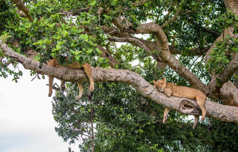 Фото ua.depositphotos.com - Львы в Национальном парке королевы Елизаветы известны своей способностью лазать по деревьям