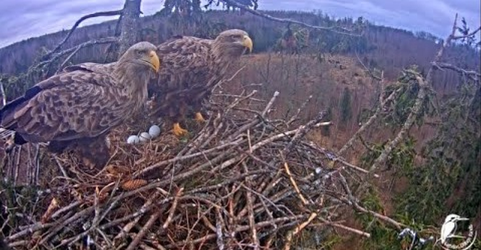 За життям рідкісних птахів Європи можна спостерігати онлайн