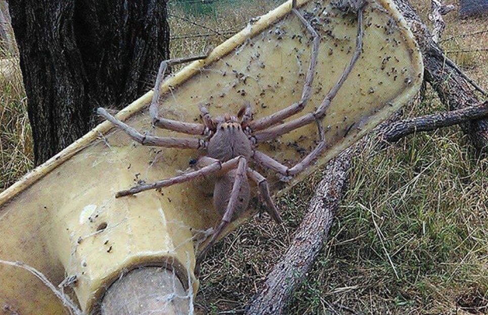 Из-за наводнения началось нашествие ядовитых пауков