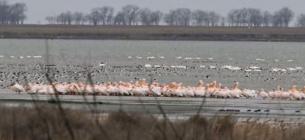На Тузлівські лимани повернулися пелікани.