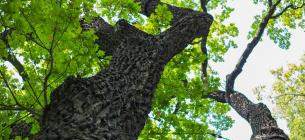 На Жуковому острові екологи знайшли дуб, якому 4 століття. Фото ілюстративне