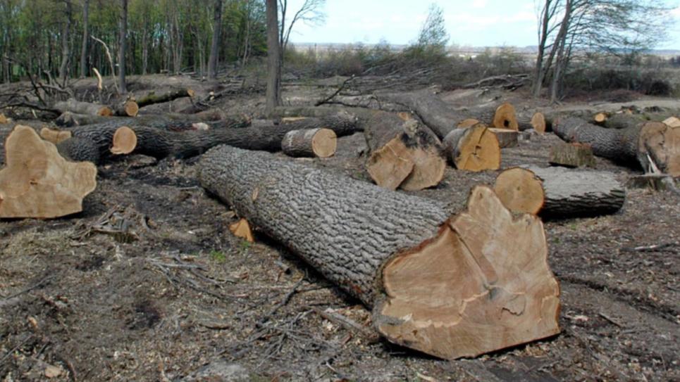 Через спиляні у Голосіївському парку вікові дуби відкрили кримінальне провадження
