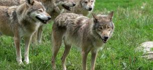Під привидом «небезпечності» для людей мисливці винищили цілу зграю з 12 вовків
