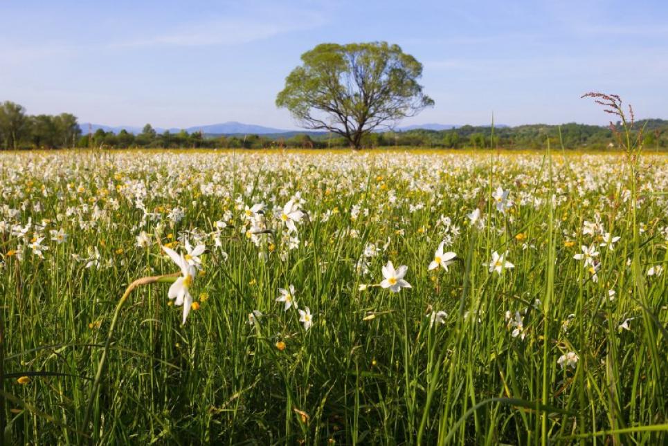 На Закарпатті Долина нарцисів потребує порятунку, проголосуйте за її збереження.