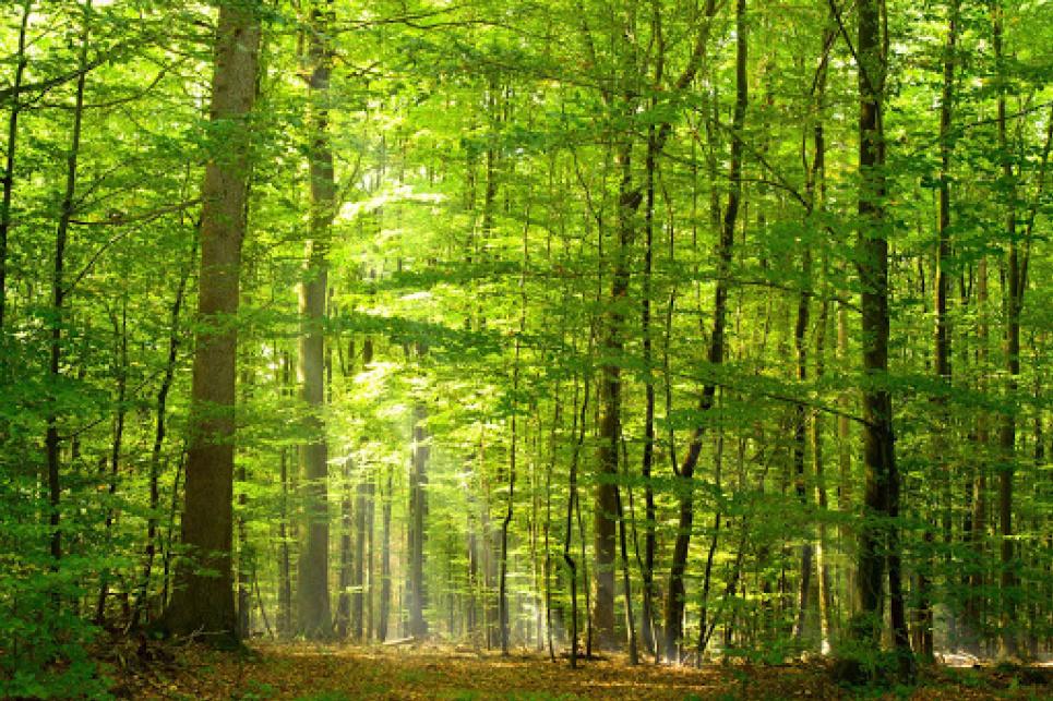 Кабмін дозволив зрубати ліс заради видобутку бурштину