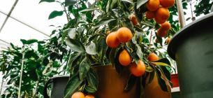 На Запоріжжі жінка вирощує шоколодні апельсини, рожеві банани та ще понад 150 екзотів