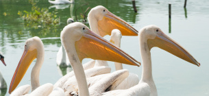 Київський зоопарк випустив в озеро пеліканів