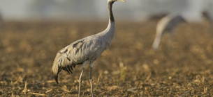 Перелітні птахи з усієї Європи можуть загинути через отруту на українських полях