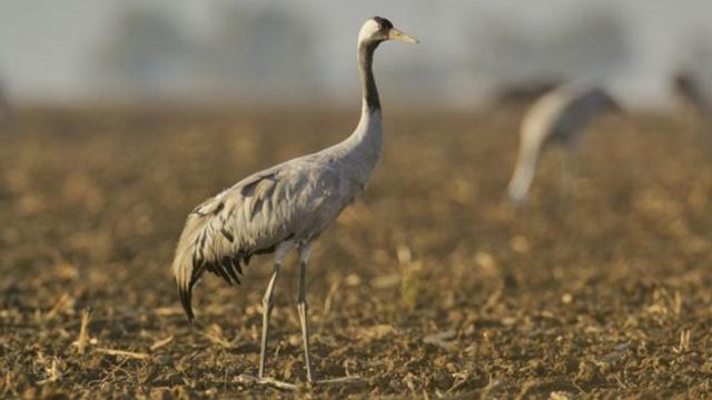 Перелетные птицы со всей Европы могут погибнуть из-за яда на украинских полях
