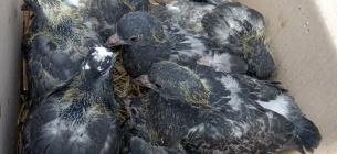 У Києві на горищі багатоповерхівки залишили вмирати 18 пташенят голубів (фото)