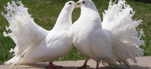 У вуличних фотографів знайшли породистих голубів склеєних скотчем