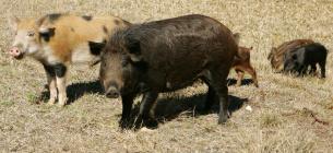 Стадо диких свиней та їх власник тероризують ціле село