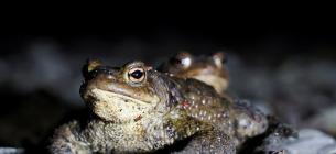 Перекрили рух авто на столичній трасі на два тижні заради жаб