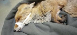 На набережній Ірпеня знайшли непритомну лисицю