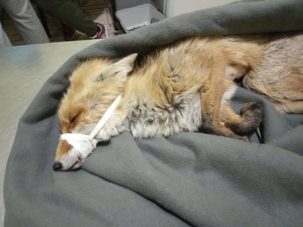 На набережной Ирпеня нашли лису без сознания