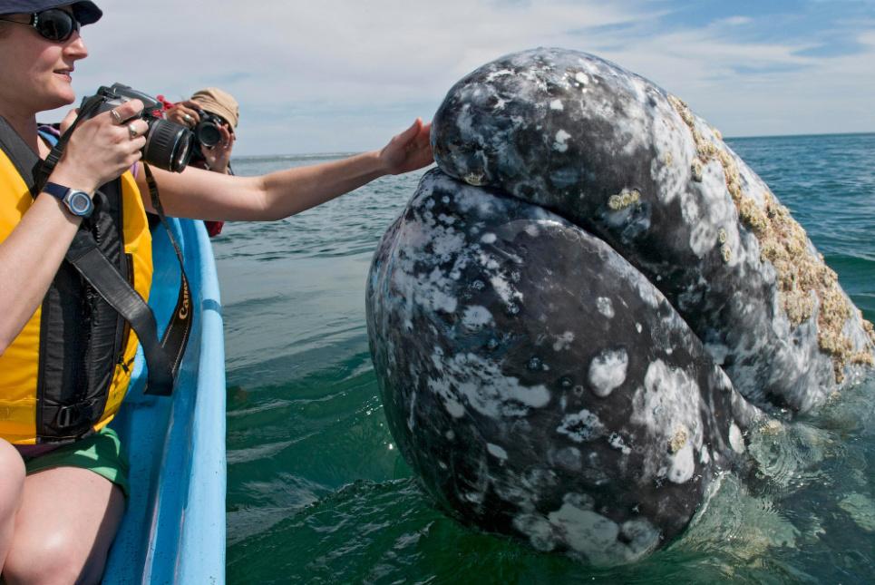 Серый кит
