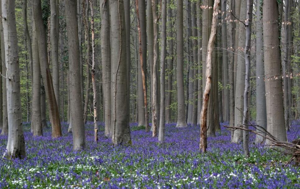 У Бельгії розпочався сезон квітування синіх гіацинтів