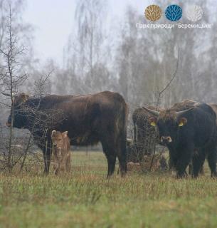 В нацпарке под Черниговом размножается семья редких потомков туров