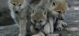 В Одеському зоопарку від п'яти вовченят відмовилася вовчиця (відео)