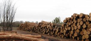 У одному з лісництв Київщини лісівники незаконно рубають дерева, прикриваючись санітарними рубками