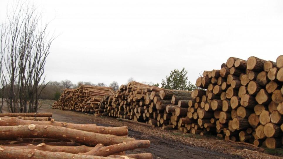 В одном из лесничеств Киевщины лесоводы незаконно рубят деревья, прикрываясь санитарными рубками