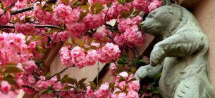 В Ужгороді почався сезон квітування сакур