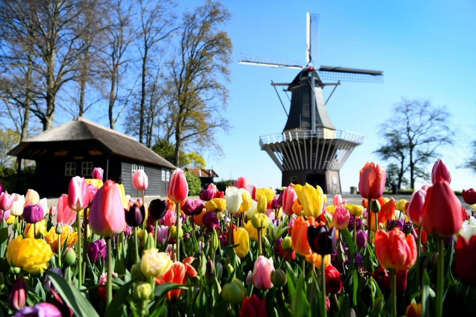 В Нидерландах начался сезон цветения тюльпанов
