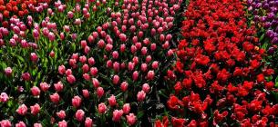 Шість мільйонів тюльпанів: у двох селах Буковини відкрили тюльпанові поля (ВІДЕО)