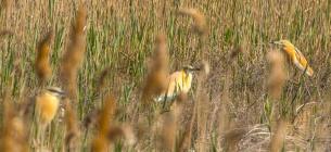 На Одещину прилетіли рідкісні жовті чаплі. Всі фото: І.Русєв