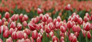 Виставку тюльпанів у Києві перенесли на тиждень