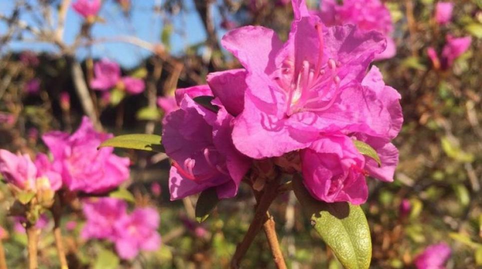 У столичному ботсаду квітнуть рододендрони