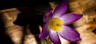 У Чорнобильському біосферному заповіднику почали квітувати рідкісні первоцвіти