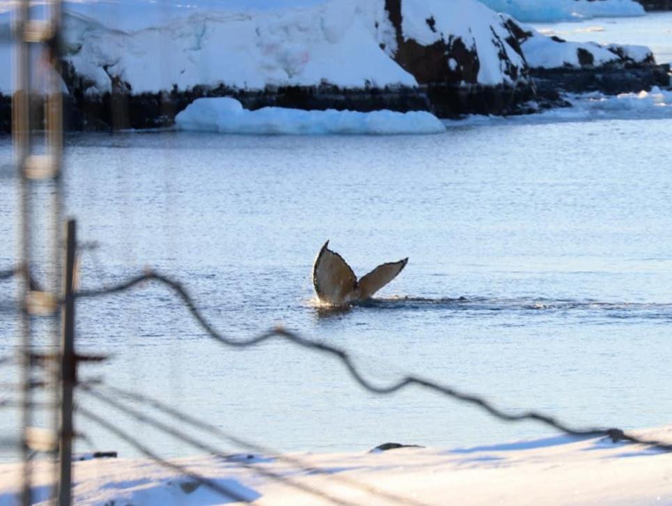 Рідкісних горбатих китів вдалося сфотографувати біля станції «Академік Вернадський»