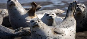 На берег Каспийского моря выбросило 150 краснокнижных нерп