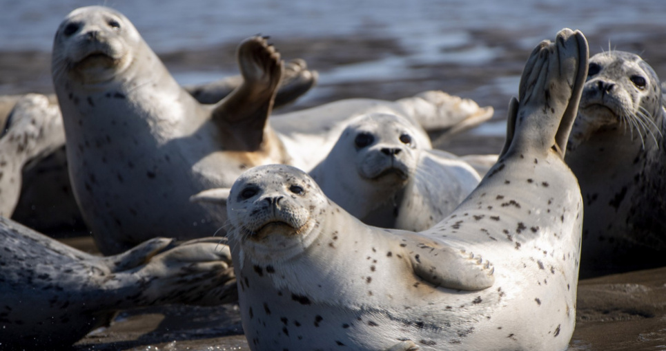 На берег Каспійського моря викинуло 150 червонокнижних тюленів (фото 18+)