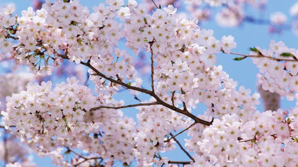 У Києві розпочався сезон квітування слив