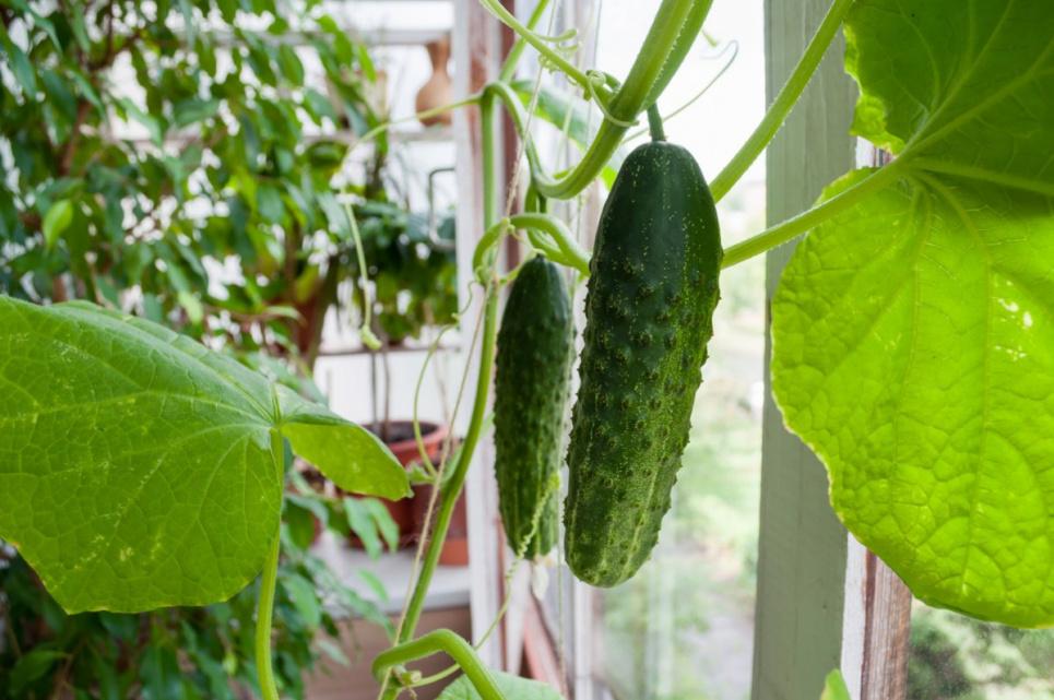 Сад в кімнаті, город на кухні, огірки на балконі: кропивничанка висаджує дерева та кущі в квартирі