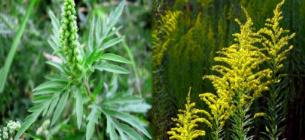 Амброзия является очень ядовитым растением