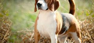 Вірний друг: експерти назвали ТОП-5 порід собак, які найменше хворіють