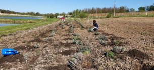 На Львівщині волонтери створили лавандове поле на підтримку літніх людей