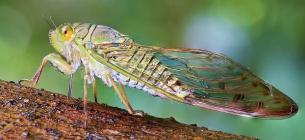 Миллиарды цикад проснулись в 18 штатах США
