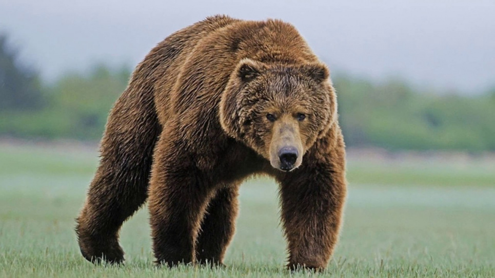 Фото: Бурий ведмідь у Карпатах