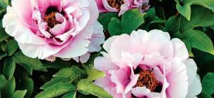 Київський ботсад: терміни цвітіння збилися, одночасно квітнуть і півонії, і бузок