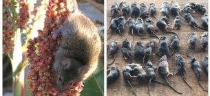 Австралію заполонили мільйони мишей-канібалів