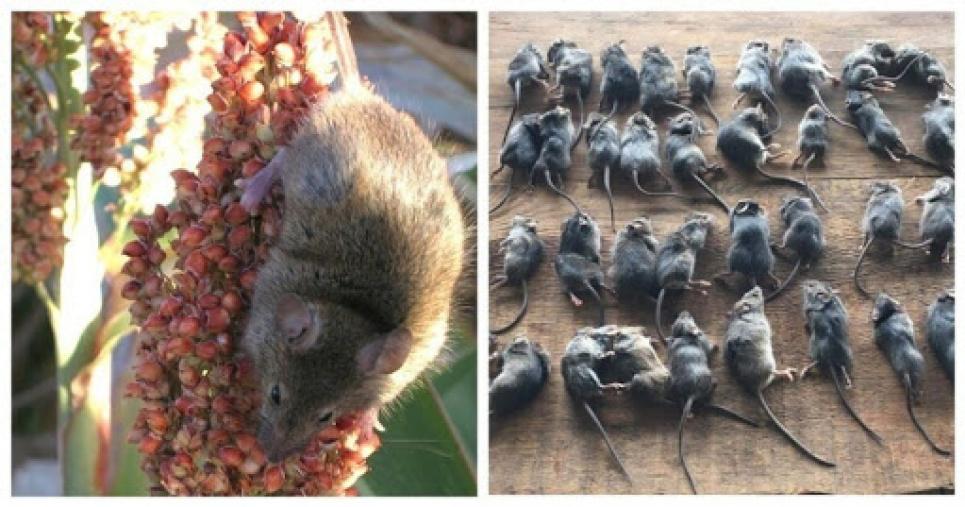 Австралию заполонили миллионы мышей-каннибалов