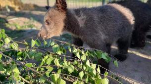 Худі і маленькі: у ведмежому притулку рятують п'ятьох ведмедиків, яких забрали з контактного зоопарку