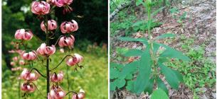 В Киевской области найдено большая популяция редко краснокнижного растения