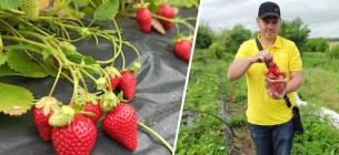 На Кіровоградщині з плантації у приватному господарстві збирають до 120 кг полуниці за 5 годин.Суспільне: Кропивницький